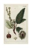 Horse Chestnut, Aesculus Hippocastanum Giclee Print