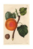Turkey Apricot or Abricot De Nancy, Prunus Armeniaca Giclee Print by Augusta Withers