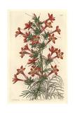 Ravenfooted Gilia, Gilia Coronopifolia Giclee Print by Sarah Drake