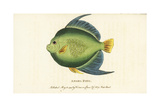 Angel Fish or Monk Fish, Pomacanthus Species Giclee Print