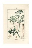 Garden Parsley, Petroselinum Crispum Giclee Print by Pierre Turpin
