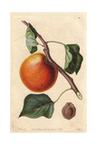 Hemskirke Apricot Variety, Prunus Armeniaca, Origin Unknown Giclee Print by Augusta Withers