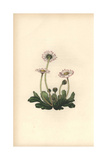 Daisy, Bellis Perennis Giclee Print by William Clark