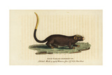 Gilt Tailed Dormouse, Myoxus Chrysurus Giclee Print by George Edwards
