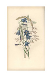 Harebell, Campanula Rotundifolia, and Grass Varieties Giclee Print by William Clark