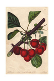 Late Duke Cherry, Prunus Avium Giclee Print by Augusta Withers
