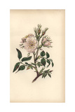 Dog Rose, Rosa Canina Giclee Print by William Clark