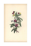 Heartsease or Pansy Violet, Viola Tricolor Giclee Print by William Clark