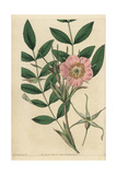 Rosa Macrophylla with Pink Flower, Buds and Leaves Giclee Print by John Lindley