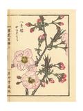 Yamazakura or Japanese Cherry Blossom, Prunus Serrulata Giclee Print by Bairei Kono