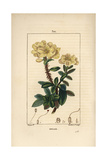 Rosebay, Hymenanthes Maxima Giclee Print by Pierre Turpin