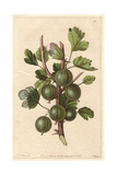Early Green Hairy Gooseberry, Ribes Uva-Crispa Giclee Print by Augusta Withers