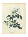 White Rose, Rosa Glabra Giclee Print by Henry Andrews