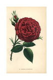 Triomphe De L'Exposition Rose, Hybrid Rose Giclee Print by Francois Grobon