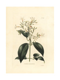 Jasminum Lanceolaria Giclee Print by George Cooke