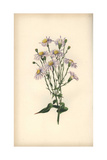 Michaelmas Daisy, Aster Serotinus Giclee Print by William Clark