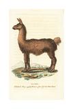 Llama, Lama Glama Giclee Print
