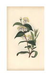 Myrtle, Myrtus Communis Giclee Print by William Clark