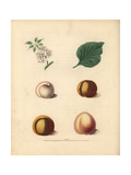Apricot Varieties, Prunus Armeniaca Giclee Print by George Brookshaw