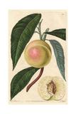 White Nectarine, Prunus Persica Var Nectarina Giclee Print by Augusta Withers
