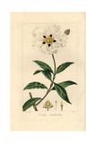 Gum Cistus, Wavy Leaved Variety, Cistus Ladaniferus Undulatus Giclee Print by Pancrace Bessa