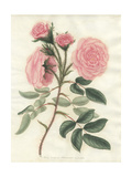 Pale Pink Moss, Rosa Muscosa Provincialis Var Flore Pallida Giclee Print by Henry Andrews