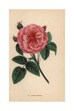 Baronne Prevost Rose, Hybrid Giclee Print by Francois Grobon