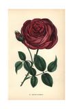 Berthe Bazterais Rose, Hybrid Rose Giclee Print by Francois Grobon