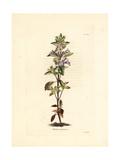 Alpine Calamint, Clinopodium Alpinum Subsp Majoranifolium Giclee Print by George Cooke