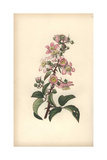 Common Bramble or Blackberry, Rubus Fruticosus Giclee Print by William Clark