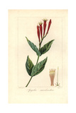 Indian Pink or Woodland Pinkroot, Spigelia Marilandica Giclee Print by Pancrace Bessa