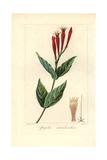 Indian Pink or Woodland Pinkroot, Spigelia Marilandica Giclee Print by Pancrace Bessa