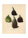 Fig Varieties, Ficus Carica Giclee Print by George Brookshaw