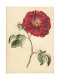 Damask Rose, Rosa Damascena Giclee Print by James Andrews