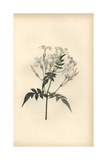 Jasmine, Jasminum Officinale Giclee Print by William Clark