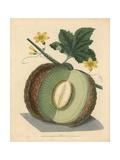 Green Flesh or Candia Melon, Cucumis Melo Giclee Print by George Brookshaw