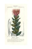 Green Sugarbush, Protea Coronata Giclee Print by Pierre Turpin