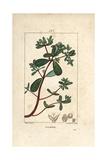 Purslane, Portulaca Oleracea Giclee Print by Pierre Turpin