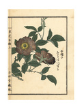 Naniwai Bara, or Cherokee Rose, Rosa Laevigata Giclee Print by Bairei Kono