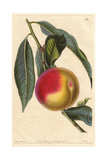 Madeleine De Courson or Red Magdalen Peach, Prunus Persica Giclee Print by Augusta Withers