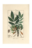 Ash Tree, Fraxinus Excelsior Giclee Print by Pierre Turpin