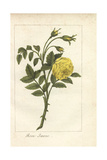 Yellow Rose, Rosa Lutea Giclee Print by Mlle. Prudhomme