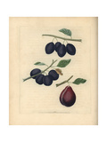 Plum Varieties, Prunus Domestica Giclee Print by George Brookshaw