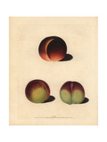 Peach Varieties, Prunus Persica Giclee Print by George Brookshaw