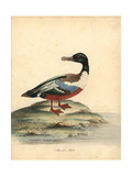 Northern Shoveller, Anas Clypeata Giclee Print by William Hayes