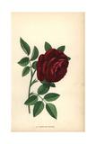 Louis Van Houtte Rose, Hybrid Giclee Print by Francois Grobon