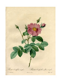 Single-Flowered Cabbage Rose, Rosa Centifolia Variety Giclee Print by Pierre-Joseph Redouté