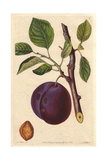 Mimms Plum, Prunus Domestica Giclee Print by Augusta Withers