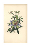 Passionflower, Passiflora Caerulea Giclee Print by William Clark