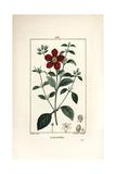 Gum Cistus, Cistus Creticus Giclee Print by Pierre Turpin